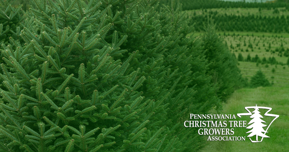 How Long Does It Take To Grow A Christmas Tree.Welcome To The Pctga Pennsylvania Christmas Tree Growers